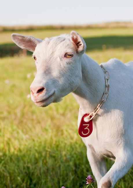 Head shot of lovely Saanen dairy goat doe in sunlit field.