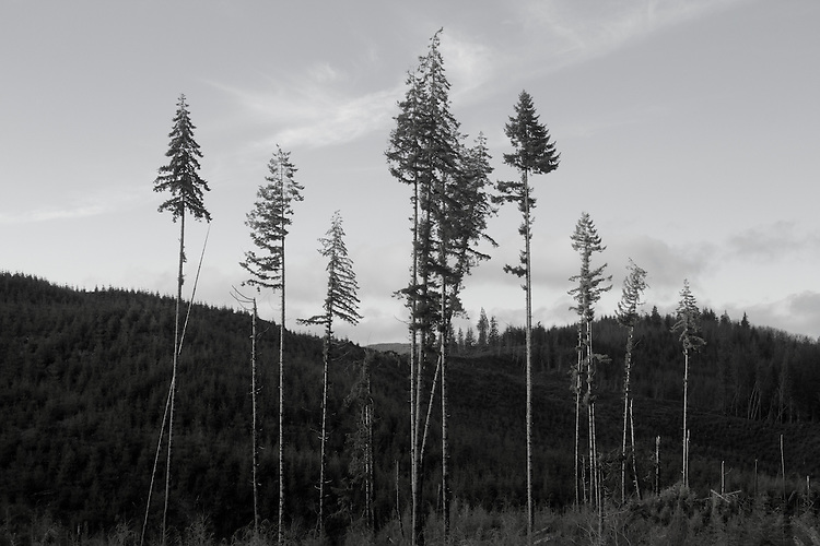 Forests, Logging, clear cut, relict trees, Grays Harbor County, Weyerhaeuser Company, trees left to meet state requirements destined to die due to lack of thinning during growth cycle thus creating disproportionately tall, small diameter trees,