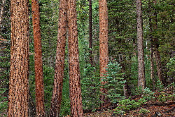 Forest of mixed conifer trees including ponderosa pines, douglas fir and spruce above Robbers Roost Spring, 8500 feet elevation on Kaibab Plateau, North Rim of Grand Canyon National Park, Arizona, USA, TomBean_Pix_1937