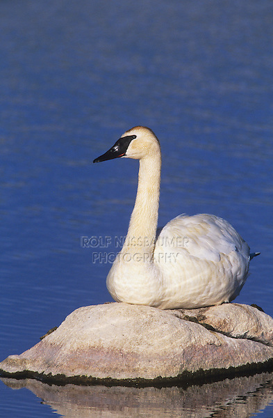 Trumpeter Swan (Cygnus buccinator), adult resting, Yellowstone National Park, Wyoming, USA