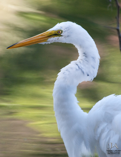 Great Egret in Staten Island, Clove Lake