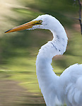 Great Egret in Staten Island, Clove Lake