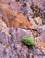 Hemlock growing out of rock wall with new growth. North Cascades National Park, Washington