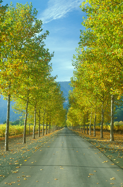 Tree-lined lane in Napa Valley
