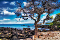 Dead tree on kohala coast. Hawii, The Big Island.