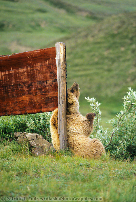 Grizzly bear scratches wooden sign at Eielson Visitor's center, Denali National Park, Alaska