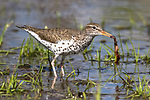 A spotted sandpiper caught a worm in a northern Wisconsin pond.