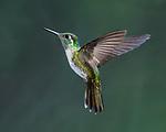 White-bellied Mountain-gem Hummingbird
