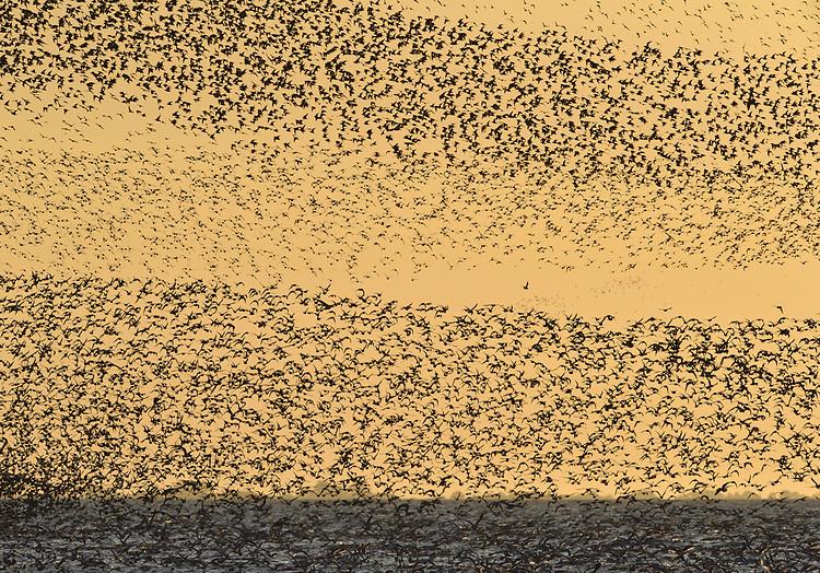Knot - Calidris canutus - autumn flock in flight over Snettisham, Norfolk