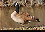 Canada Goose, Bosque del Apache Wildlife Refuge, New Mexico