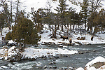 American Bison (Bison bison) trio along river in winter, Gardner River, Yellowstone National Park, Montana
