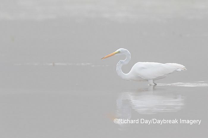 00688-02302 Great Egret (Ardea alba) in wetland in fog, Marion Co., IL