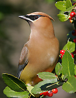 Ceadr waxwing in fruiting yaupon bush