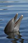 Atlantic Bottlenose Dolphin, Tursiops truncatus,