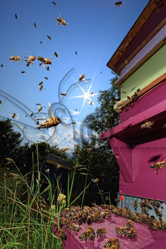 The days when the flowers produce lots of nectar, the bees remain outside the hive fanning, to better dehydrate the nectar when the forager bees come back from their journeys.///Les jours ou les fleurs donnent beaucoup de nectar, les abeilles restent à ventiler à l'extérieur de la ruche pour mieux déshydrater le nectar pendant que les butineuses rentre de leurs voyages.