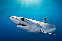 shortfin mako shark, Isurus oxyrinchus, Long Beach, California, USA, Pacific Ocean