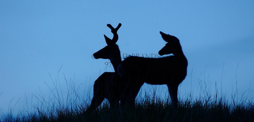 Mule deer silhouette. Near Meeker, Colorado. © Michael Brands. 970-379-1885.