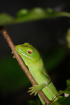 Green Tree Gecko