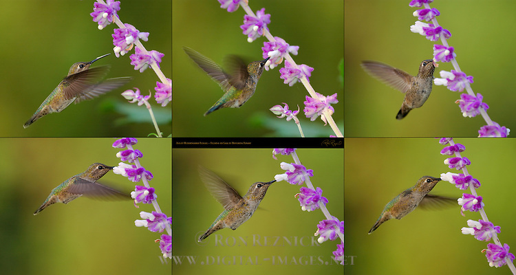 Anna's Hummingbird Female, Feeding on Sage in Hovering Flight, Composite Flight Study, Southern California