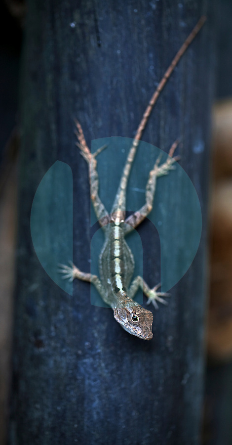 April 7th, 2011_DU SUD, HAITI_ A lizard finds a home on a piece of bamboo on the Coeur D'Or mango plantation, which is located an area south west of the Haitian capital city of Port au Prince. Photographer: Daniel J. Groshong/The Hummingfish Foundation