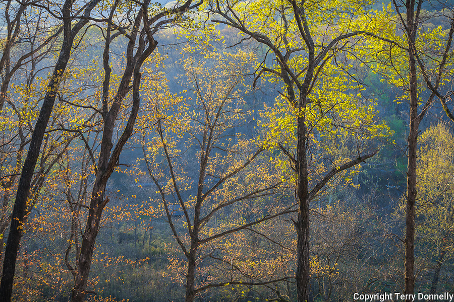 Devil's Den State Park, Arkansas:<br /> Morning sun in the early spring hardwood forest of Lee Creek Valley. Ozarks.