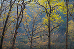 Devil's Den State Park, Arkansas:<br /> Morning sun in the early spring hardwood forest of Lee Creek Valley. Ozarks.