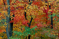 Black cherry and sugar maple<br />