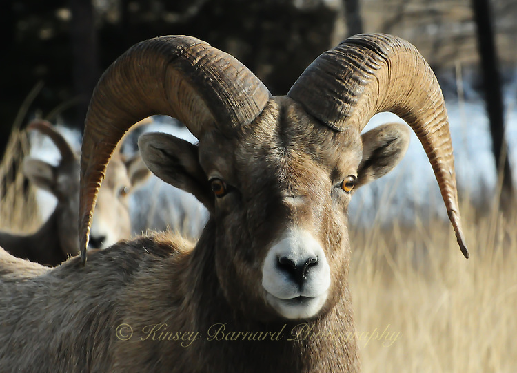 Big Horn ram portrait.