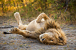 African Lion (Panthera leo) male stretching, Nkasa Rupara National Park, Namibia