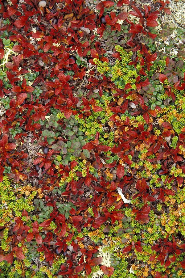 Fall ground foliage, Cape Onion, Newfoundland, Canada