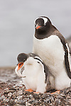 A Gentoo Penguin (Pygoscelis papua) with a chick exhibiting intestinal distress on its nest in the Aitcho Islands of Antarctica.