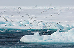 When the icebreaker Oden cuts through sea ice it flips over floes and exposes brown undersides full of ice algae. When the Arctic sun returns in summer, it penetrates through the sea ice and provides energy for the algae to grow on the bottom surfaces of ice and provide food for Arctic Cod. Sea birds such as Black-legged Kittiwakes and Northern Fulmars fly and feed on the fish in the ship's wake.