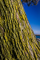 A lichen covered tree against a blue-sky background along a path at the San Leandro Marina Park on a summer afternoon.