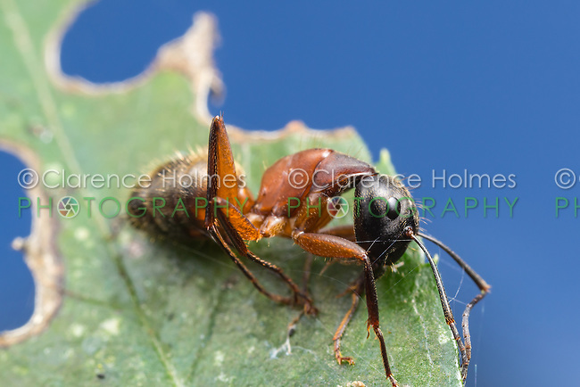 A dead Ferruginous Carpenter Ant (Camponotus chromaiodes) rests on a leaf.