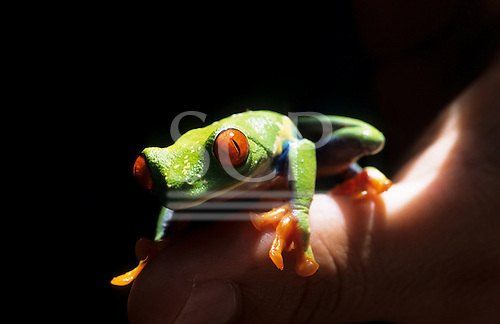 Monte Verde, Costa Rica. Red-eyed tree frog (Agalychnis callidryas), a venom bearing species on a man's thumb to show size.