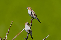 African silverbill(Lonchura malabarica) Introduced to all of the main Hawaiian islands and found in dry areas or grasslands