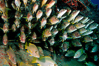Schoolmaster,  Lutjanus apodus, are found in the tropical Atlantic, where they congregate under protected ledges and reef overhangs, Florida, Atlantic Ocean