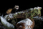 A wild European polecat (Mustela putorius) exploring a snow covered log near Corwen, north Wales. This image was taken using a DSLR camera trap