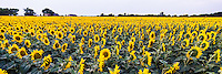 Very large field of sunflowers in rural Texas.