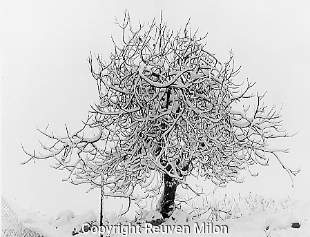 Fig tree in snow