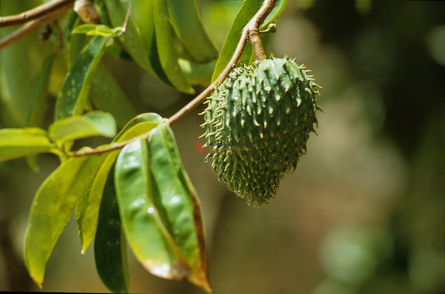 Fruit with anti-cancer property (Graviola in Brazil)