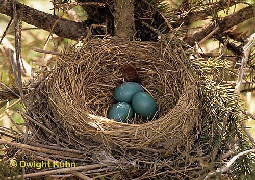 RO02-002b  American Robin - eggs in nest - Turdus migratorius