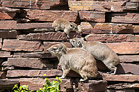A family of Yellow-spotted Rock Hyrax, Heterohyrax brucei, on a rock wall in Serengeti National Park, Tanzania