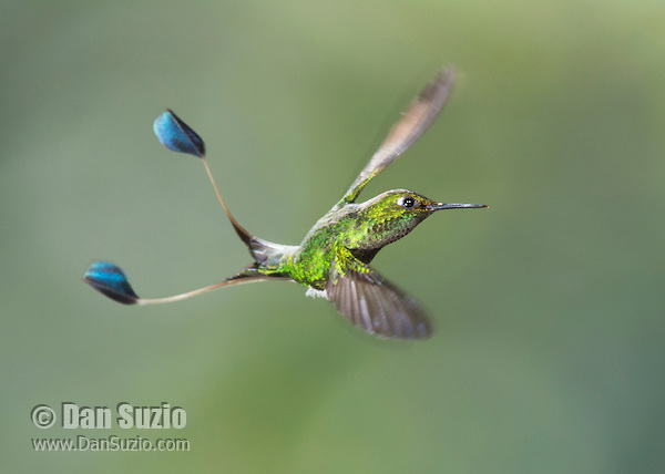 Male booted racket-tail, Ocreatus underwoodii, uses its long tail as a counterweight to make sharp turns in flight. Tandayapa Valley, Ecuador