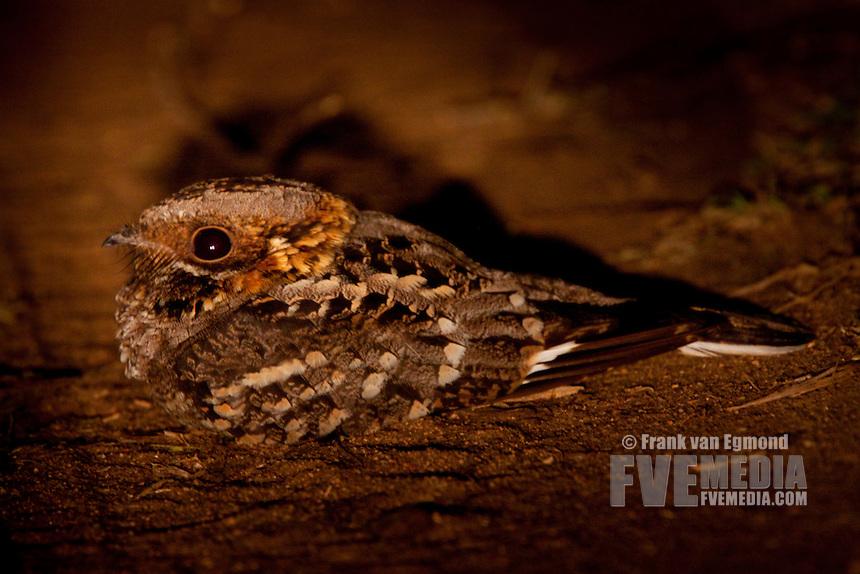 Square-tailed Nightjar (Caprimulgus Fossii)..May, Winter 2009..Ndumo Game Reserve, Kwazulu-Natal, South Africa.