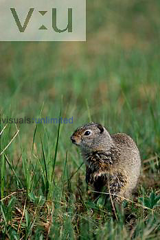 A Richardson Ground Squirrel. ,Citellus richardsoni, Grand Teton National Park, Wyoming
