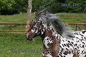 Bob, ANIMALS, REALISTISCHE TIERE, ANIMALES REALISTICOS, horses, photos+++++,GBLA4397,#a#, EVERYDAY