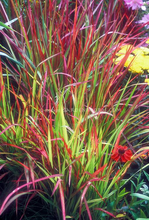 Imperata cylindrica rubra bloodgrass plant flower for Perennial grasses red
