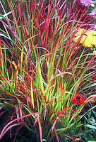 Imperata cylindrica 'Rubra' ornamental blood grass in blazing red and green grassy leaves