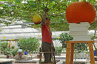 """A scientist looks at giant pumkins at the """"Space Breeding Exhibition Yard"""" at the Guangdong Academy of agricultural Sciences, 50 miles outside Guangzhou city. Chinese scientists claim that vegetables and fruit cultivated from the space seeds are larger, more nutritious and safe to eat...PHOTO BY SINOPIX"""